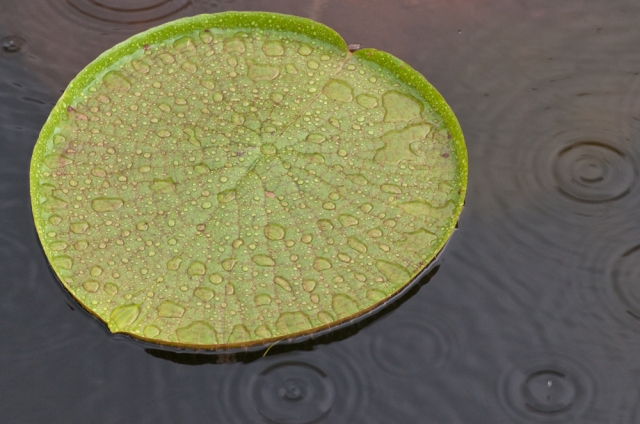 """Giant Lilypad in the Rain"" (c) David Foster 2010"