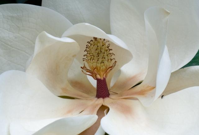 """""""Magnolia"""" (c) David Foster 2010"""